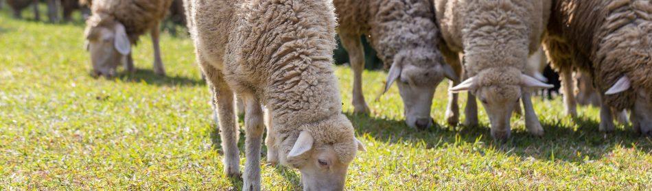 Tondeuse écologique : quel animal pour tondre votre pelouse ?