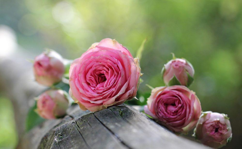 Quelles sont les significations des roses ?