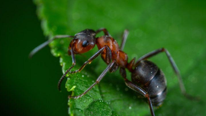 Comment se débarrasser des fourmis sans insecticide ?