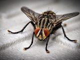 Comment se débarrasser des moucherons dans une maison / appartement