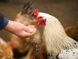 5 manières d'utiliser le vinaigre pour vos poules