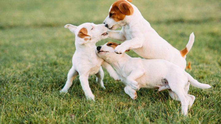 Les chiens blancs ont-ils un caractère particulier ?