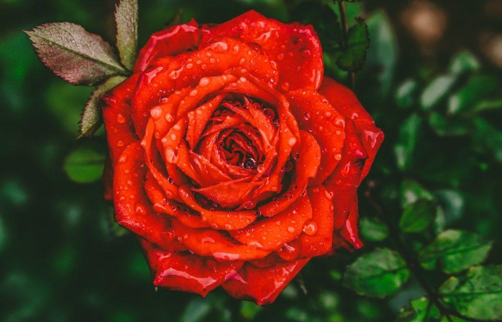 À la découverte de la rose rouge